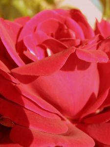 Красная роза (Фото talk2frank)